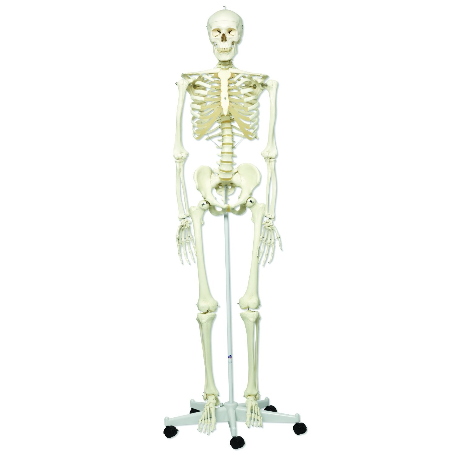 human skeleton model 180cm - mon scientific: nigeria's number one, Skeleton