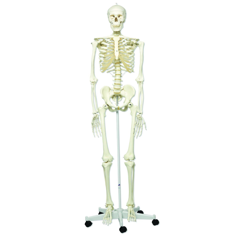 Human Skeleton Model 180cm Mon Scientific Nigerias Number One